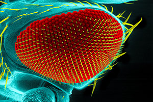 Visualizing How Neurons Develop in the Fruit Fly Eye