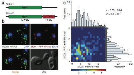 Correlation between transcripts from two alleles of a constitutively active gene, MDN1, in diploid cells.