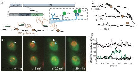 Real-time measurement of fluorescent RNA reveals transcription kinetics.